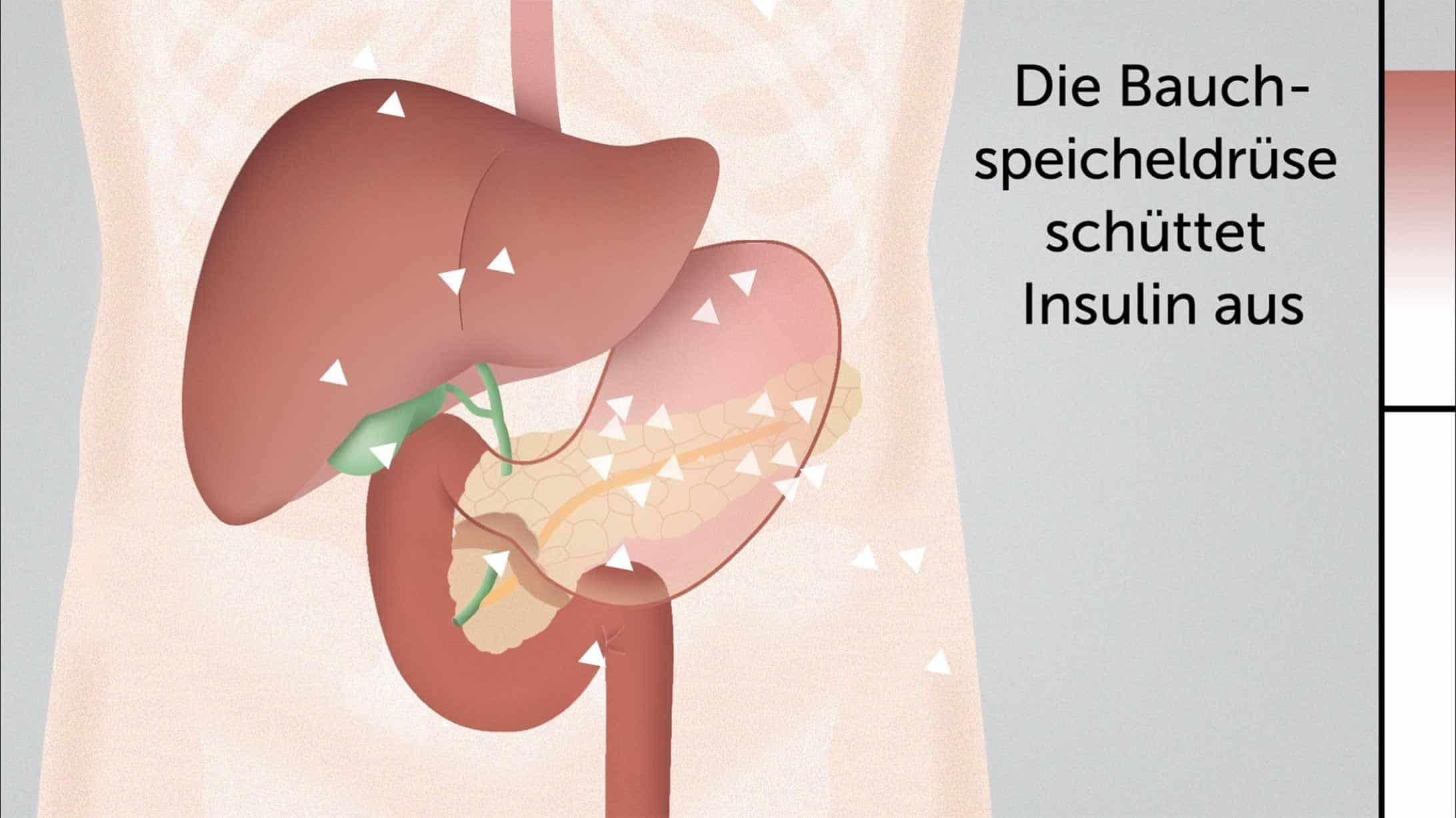 Illustration Ausschüttung Insulin der Bauchspeicheldrüse