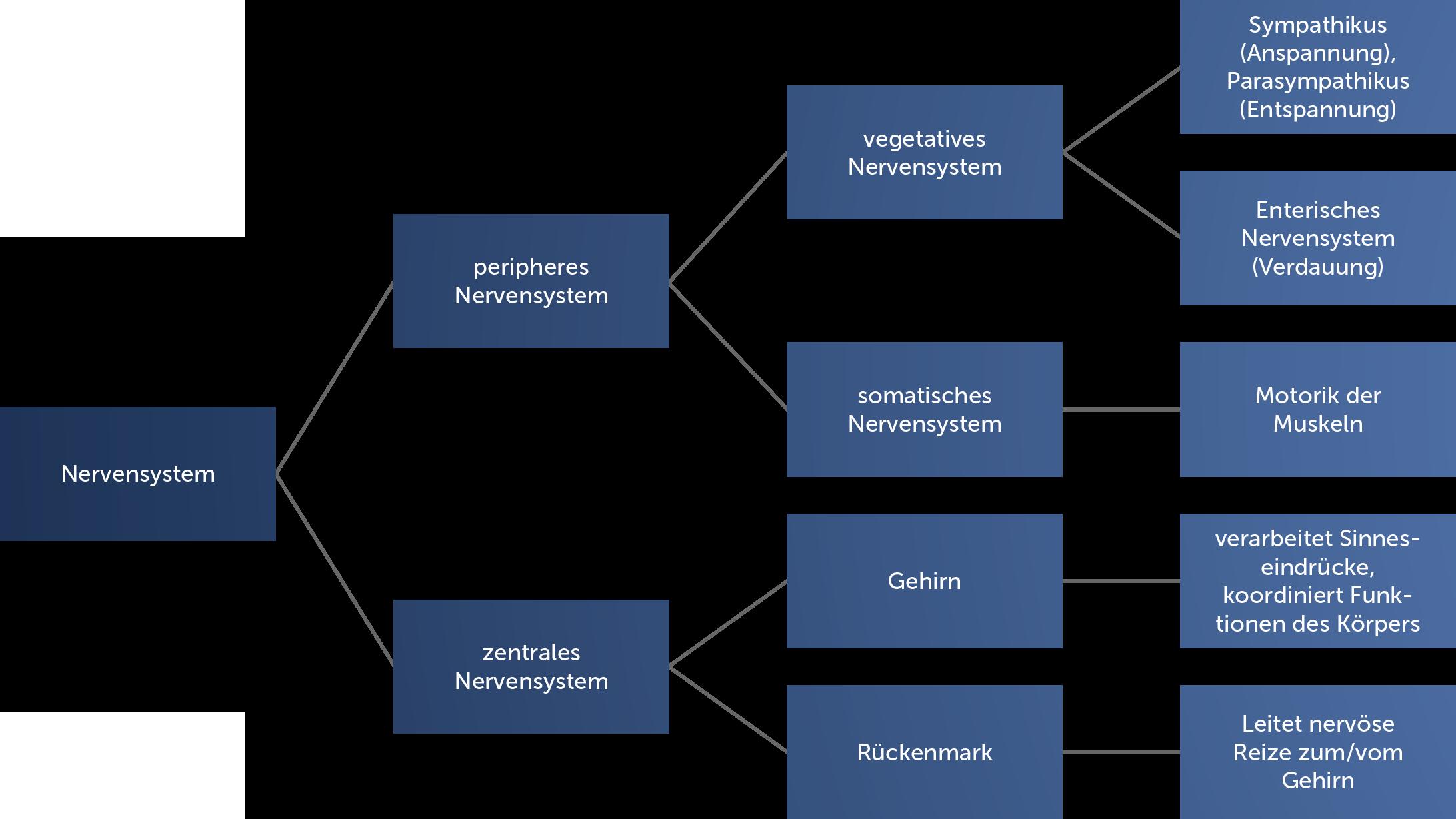 Grafik wie das Nervensystem aufgebaut ist